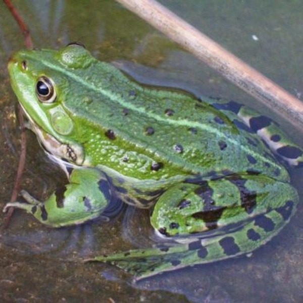 Grenouille verte.preview orig
