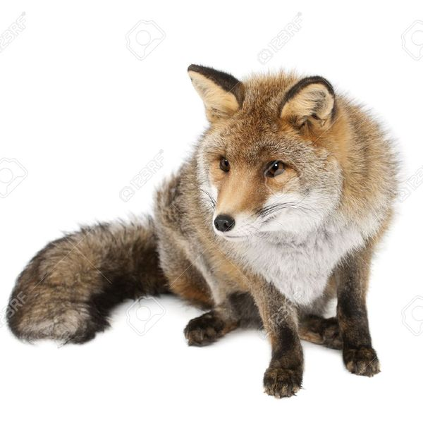 14275447 old red fox vulpes vulpes 15 years old sitting against white background stock photo