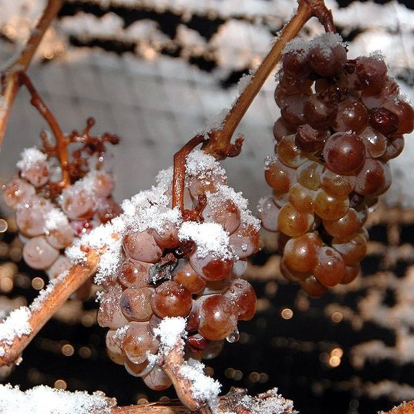 655px ice wine grapes