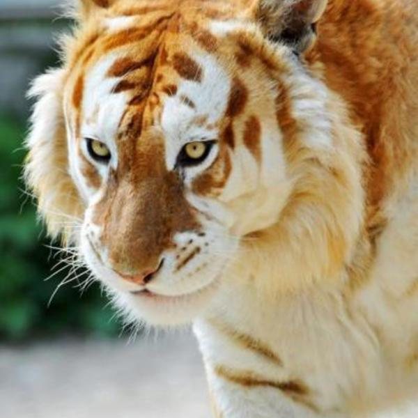 Animalsworld vip blog com 122459tigre dor 23 jpg 1501842 xl