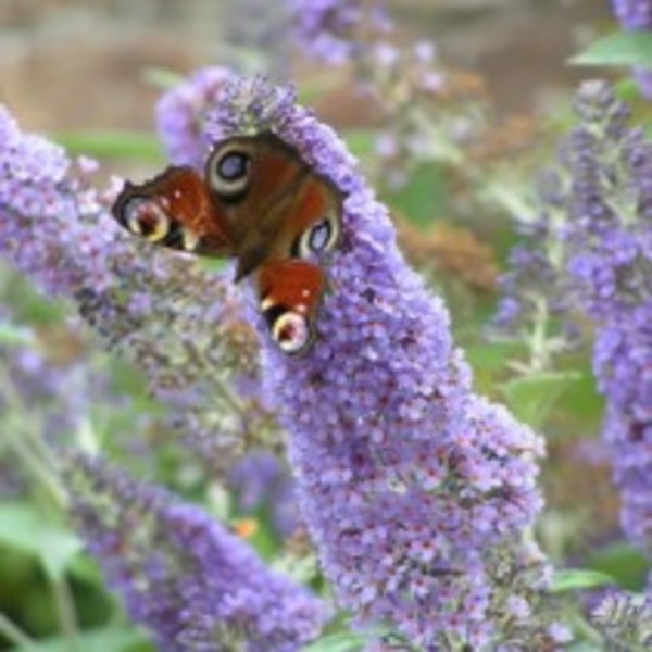 Buddleia d lochinch