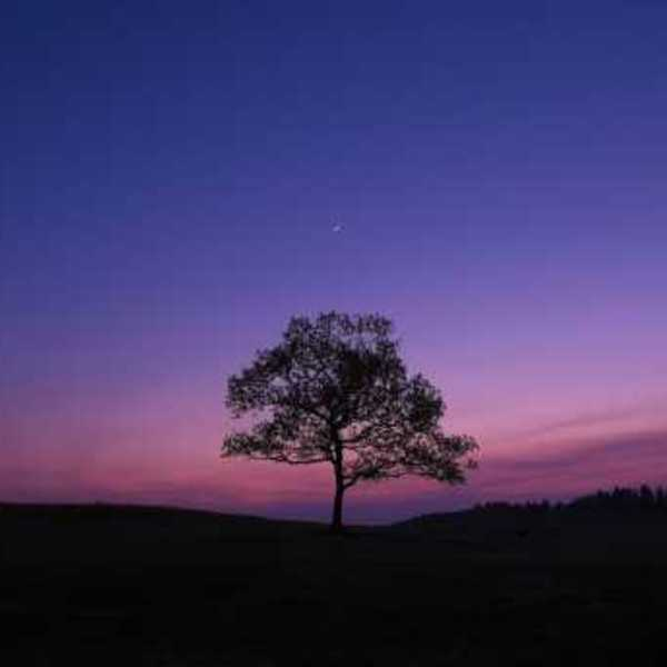 Tree in the lavender sunset wallpaper 34514