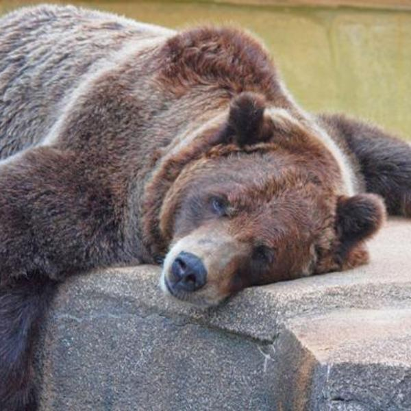 Hibernating bears reveal a potential treatment for alzheimers 1421785472