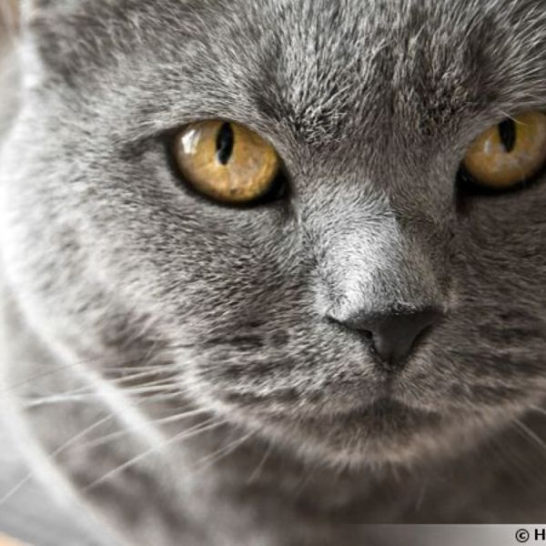 Chat chartreux 600x450